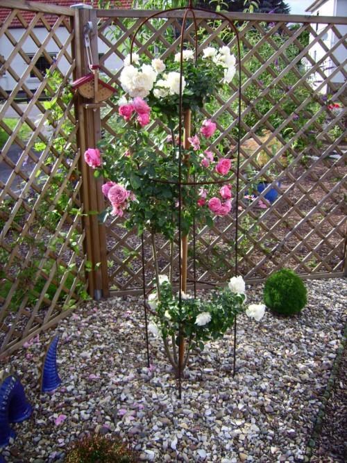 Dreistammrose, weiß blüht hier die Rose Mediland und rosa die Rose Leonardo DaVinci