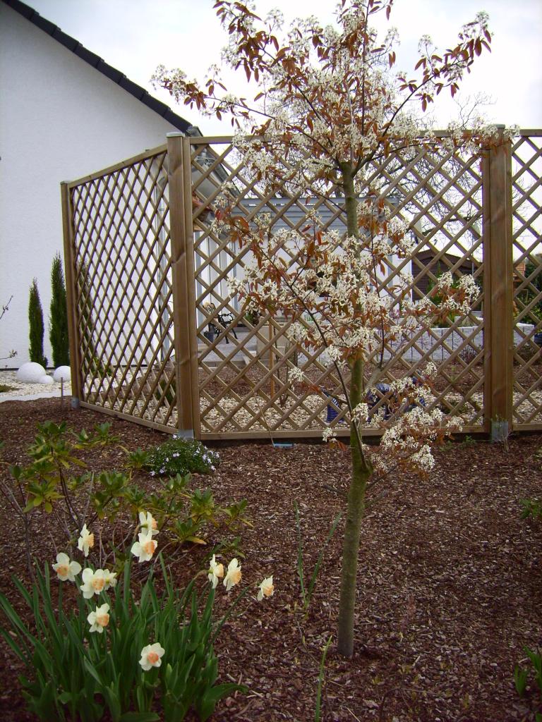 wachsen tulpen durch rindenmulch