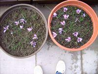 Die Blüten des Safran-Krokusses
