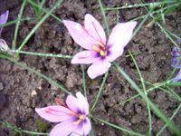 Nahaufnahme der Blüte mit den 3 rötlichen Safran-Fäden