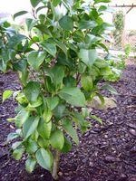 "Camellia japonica ""Conquettii (syn. Glen 40)"""