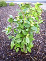 """Camellia japonica """"Nuccio´s Pearl"""""""