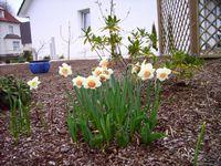 Narzissen und Tulpen in einer Gruppe
