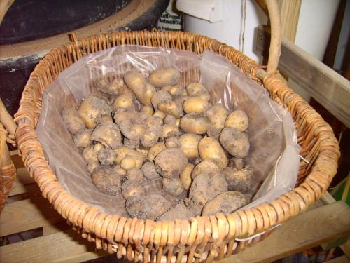 Kartoffelernte der Sorte Linda