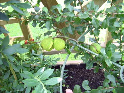 Nordische Zitrone mit Blüten und Früchten